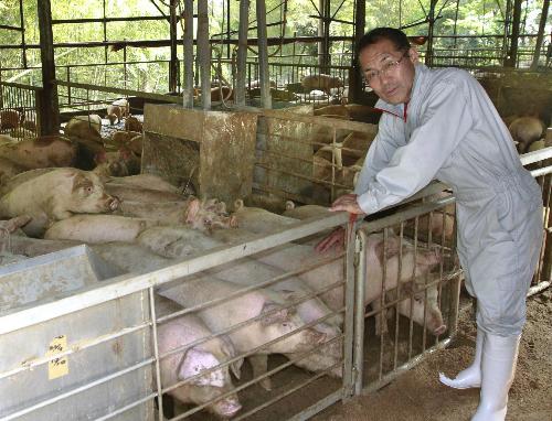 Ông Masami Kitagawa là người đã nghĩ ra phương pháp cho lợn uống nước trà xanh mỗi ngày.