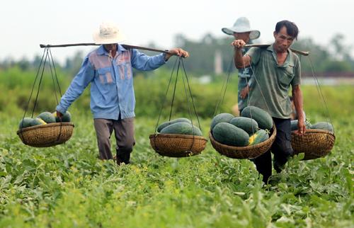 Nông dân huyện Phú Ninh, Quảng Nam gánh dưa đi bán lẻ để bù lỗ. Ảnh: Đắc Thành.