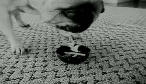 Thói quen gặm thuốc lá của chú chó Pug tố cáo kẻ giết người.