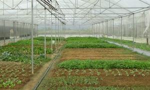 Nông dân Kon Tum tìm đầu ra cho 25 tấn rau sạch mỗi tháng