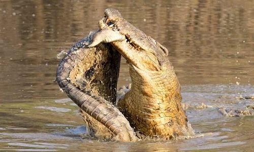 Cá sấu ăn thịt đối thủ bại trận trong công viên quốc gia Nam Luangwa. Ảnh: Caters.