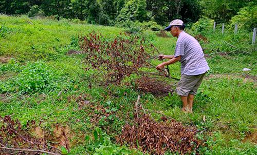 Những cây cam đổ ngổn ngang giữa vườn, khô héo sau khi bị đốn hạ. Ảnh: T.H