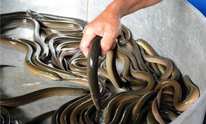 300 hộ nuôi lươn không bùn theo chuẩn VietGap