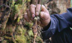 Kon Tum bảo tồn giống sâm quý giá 85 triệu đồng mỗi kg