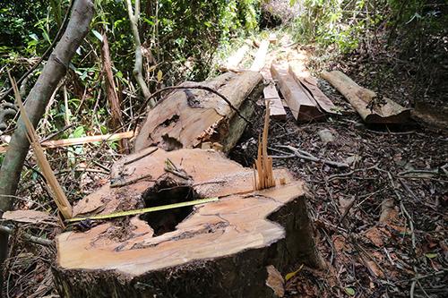 Rừng bảo tồn ở Quảng Trị bị phá do sơ hở của chủ rừng, địa phương và kiểm lâm. Ảnh minh hoạ: Hoàng Táo
