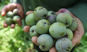 700 ha mận ở Sơn La thu hoạch sớm do mất mùa