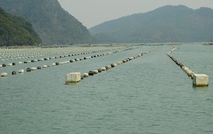 Người dân Quảng Ninh nuôi ngao hai cùi kiếm tiền tỷ mỗi năm