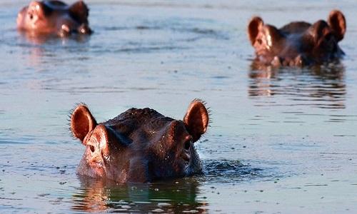 Phân hà mã gây ra hiện tượng thiếu oxy trong nước, khiến cá chết hàng loạt trên sông Mara. Ảnh minh họa: iStock.