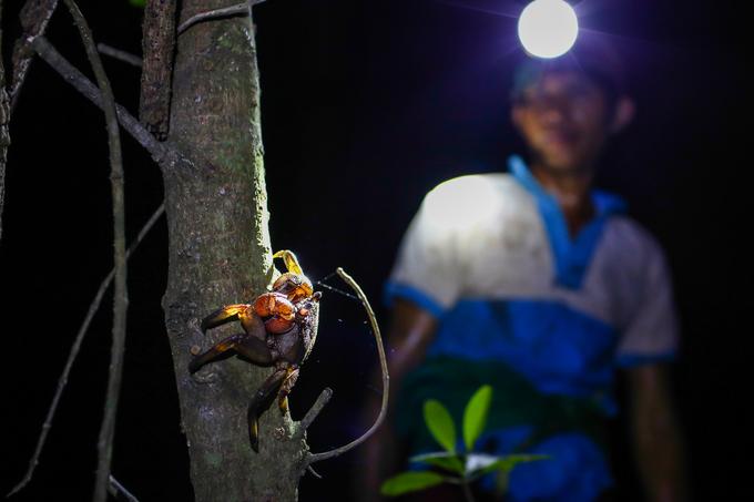 Lội rừng ngập mặn bắt ba khía trong đêm ở Cần Giờ