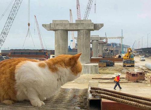 Mèo Mostik thị sát quá trình xây cầu. Ảnh: Instagram.