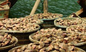 Ngư dân kiếm tiền tỷ mỗi năm nhờ nuôi ngao hai cùi