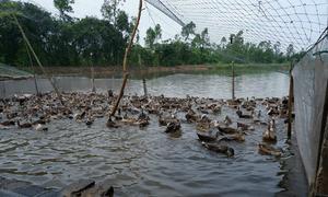 Kinh nghiệm nuôi vịt trời mát tay của chủ trại Ninh Bình