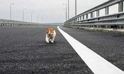 Chú mèo nổi tiếng hơn Putin trong lễ khánh thành cây cầu nối Crimea