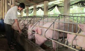 Thu tiền tỷ nhờ nuôi đàn lợn nghìn con khép kín