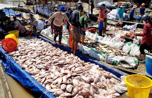 Người dân thu gom cá chết chở vào bờ bán rẻ cho thương lái làm phân bón. Ảnh: Phước Tuấn.