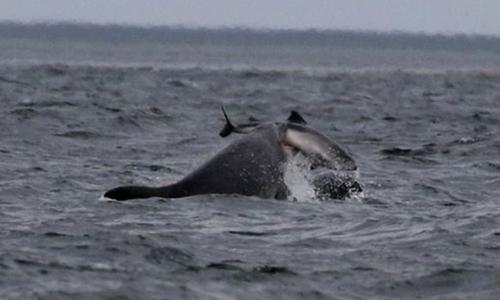Cá heo mũi chai tấn công cá heo cảng gần bờ biển.Ảnh:Alister Kemp.