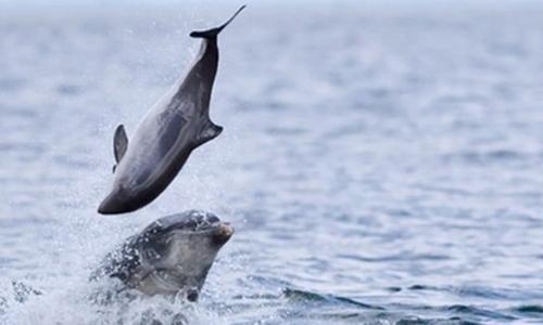 Cá heo cảng nhỏ bị đối thủ hất lên cao. Ảnh:Jamie Muny.