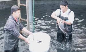 250 tấn cá tầm Bắc Hà ghim tem truy xuất nguồn gốc lên vây