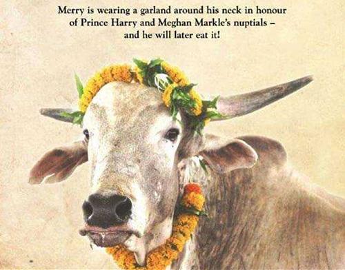 Bức chân dung bò Merry được PETA gửi làm quà cưới cho vợ chồng Hoàng tử Harry. Trên tranh viết: Merry đang đeo một vòng hoa quanh cổ để chúc mừng đám cưới của Hoàng tử Harry và Meghan Markle, và sau đó nó sẽ ăn chiếc vòng. Ảnh: PETA