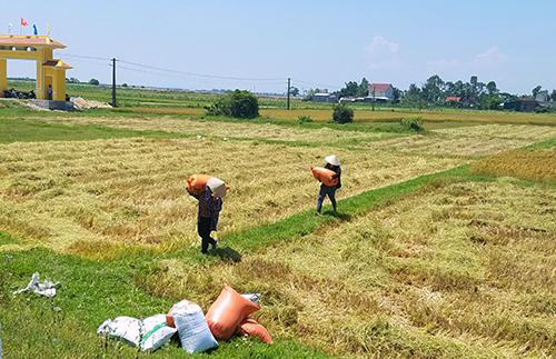 Người dân thường gặt và tuốt lúa ngay dưới ruộng, sau đó đóng bì đưa lên đường phơi. Ảnh: Đức Hùng