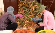 Nông dân Quảng Ninh tất bật thu hoạch vải lai chín sớm