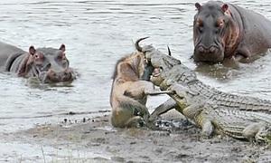 Đàn hà mã cứu linh dương đầu bò thoát hàm cá sấu
