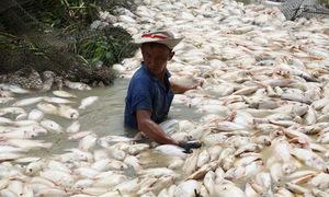 Khí độc trong nước khiến 1.500 tấn cá chết ở sông La Ngà
