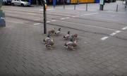Đàn vịt đợi hết đèn đỏ mới qua đường ở Đức