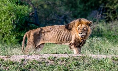 Con sư tử đực gầy đến mức chỉ còn da bọc xương. Ảnh:Larry Anthony Pannell.