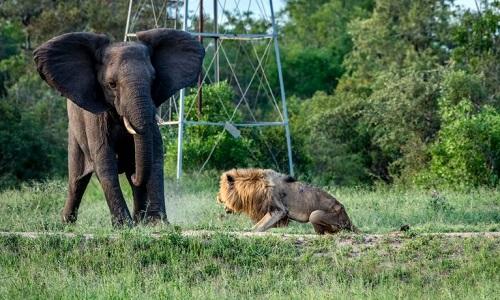 Con sư tử đực sống lang thang sau khi bị đuổi khỏi đàn. Ảnh:Larry Anthony Pannell.