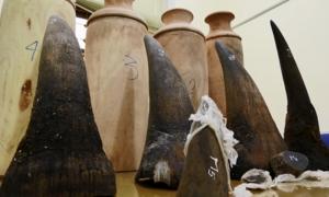 Lào Cai thu giữ 20 kg sừng tê giác ngụy trang trong lọ lục bình