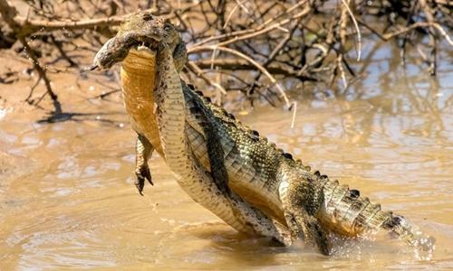 Cá sấu ngoạm rắn hổ bướm dưới hồ. Ảnh:Rishani Gunasinghe.