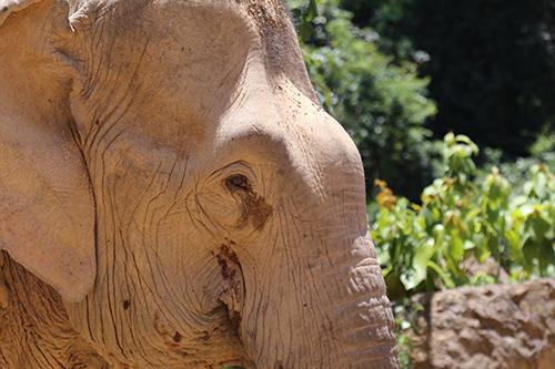 Hiện, ở Quảng Bình vẫn còn một chú voi kéo gỗ cuối cùng. Ảnh:Hoàng Táo