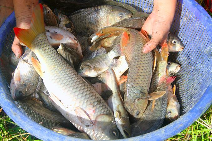 Hàng trăm người đội nắng bắt cá dưới đầm lầy