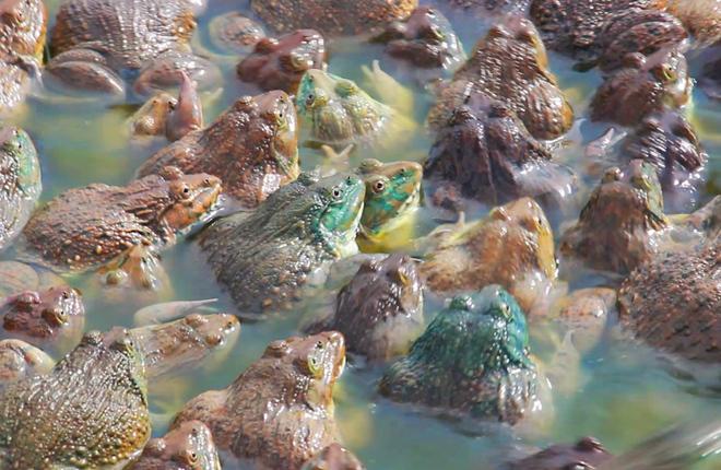 Image result for nuôi ếch ở vùng đồng tháp mười
