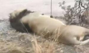 Đàn hổ, sư tử trong khu bảo tồn bị đầu độc để săn trộm