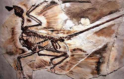 Hóa thạchmicroraptor được tìm thấy ở tỉnh Liêu Ninh, Trung Quốc, năm 2005. Ảnh: Spencer Platt.