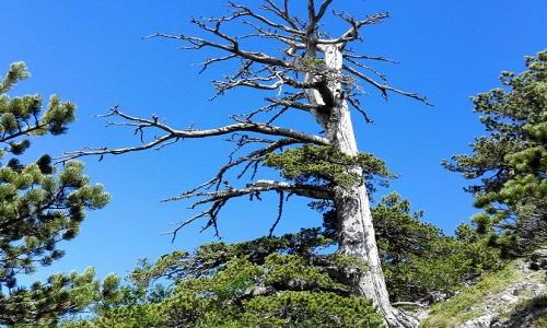 Cây thông Italus trong công viên Pollino có tuổi thọ 1.230 năm. Ảnh: National Geographic.