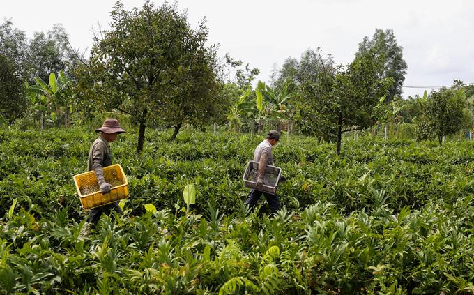 Lội mương nước hái rau móp thuê ở ngoại thành Sài Gòn