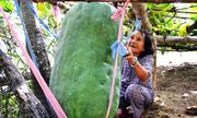 Làng trồng bí đao hơn 50 kg mỗi trái ở Bình Định