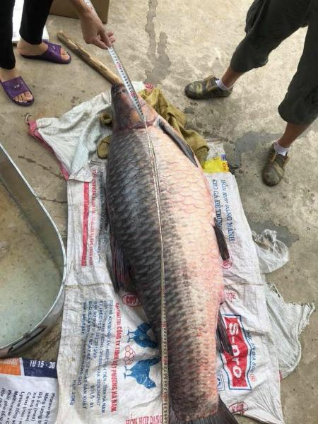 Con cá dài 1,4m.