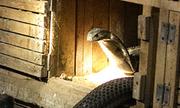 Nghề nuôi rắn hổ mang kiếm tiền tỷ ở Vĩnh Phúc