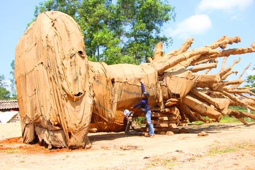 Một trong ba cây cổ thụ lúc bịtạm giữ tại bãiđất trống ở Huế. Ảnh: Võ Thạnh.