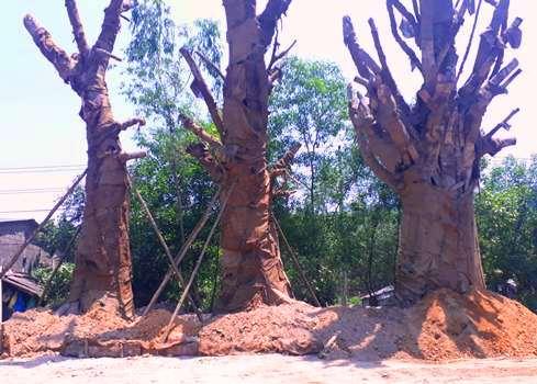 Ba cây cổ thụ trồng tạm tại Huế chờ giấy phép vận chuyển. Ảnh: Đình Tuấn.