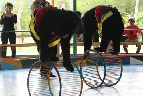 Gấu được huấn luyện phục vụ biểu diễn xiếc - Ảnh: AFA