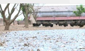 Nông dân miền Bắc áp dụng mô hình nuôi vịt sạch