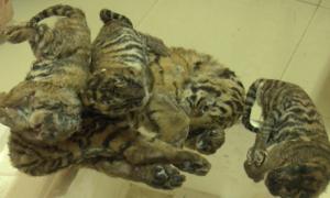 Ôtô vận chuyển 5 con hổ trái phép ở Nghệ An