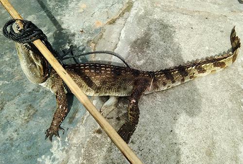 Con cá sấu bị buộc miêng được chủ nhân đưa về nhà. Ảnh: Đ.X.