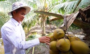 Vườn dừa xiêm lùn thu lợi một tỷ mỗi năm ở Sài Gòn
