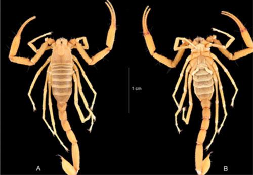 được phát hiện và công bố bởi PGS.TS. Phạm Đình Sắc thuộc Bảo tàng Thiên nhiên Việt Nam, Viện Hàn lâm Khoa học và Công nghệ Việt Nam và các đồng nghiệp trong nước và quốc tế. Mô tả của loài được công bố trên hai Tạp chí Quốc tế uy tín Comptes Rendus Biologies 341(4): 264-273 (tháng 5 năm 2018) và Zookeys 734: 13-42 (tháng 2 năm 2018).
